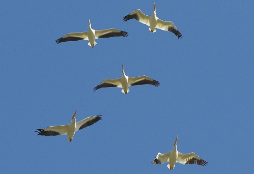 FIVE AMERICAN WHITE PELICANS
